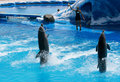 Trained dolphins playing with their trainer Royalty Free Stock Image