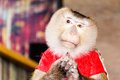 Trained monkey performing in circus Royalty Free Stock Photo