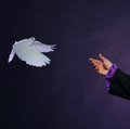 Trained white dove flying to magician hand Stock Image