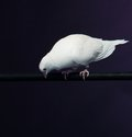 Trained white dove sitting on a magician s stick Stock Images