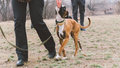 Training dog breed boxer. Dog training in the city. Close-up Royalty Free Stock Photo