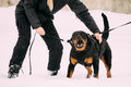 Training Of Rottweiler Metzgerhund Adult Dog. Attack And Defence Royalty Free Stock Photo