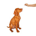 Training a vizsla puppy to sit person holing treat in their hand while young breed dog and stay Stock Images