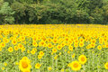 Tranquil sunflower field. Royalty Free Stock Photo