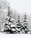 Tranquil winter fir forest Royalty Free Stock Photography