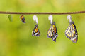 Transformation of common tiger butterfly emerging from cocoon with chrysalis Royalty Free Stock Images
