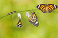 Transformation of common tiger butterfly emerging from cocoon Royalty Free Stock Photo