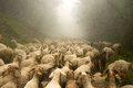 image photo : The transhumance