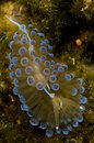 Translucent Nudibranch Stock Image