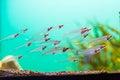 Translucent tropical fish closeup of swimming in aquarium Royalty Free Stock Photography
