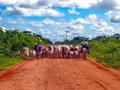 Transpantaneira cowboys with a heard of cows on the in pantanal brazil the pantanal is a tropical wetland and one of the world s Royalty Free Stock Photo