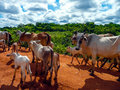 Transpantaneira cowboys with a heard of cows on the in pantanal brazil the pantanal is a tropical wetland and one of the worlds Stock Photo