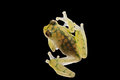 Transparent glass frog transparant hyalinobatrachium valeroi small tree from the amazon rain forest this tropical animal lives in Royalty Free Stock Photos