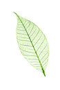 Transparent leaf  isolated on white Royalty Free Stock Photo