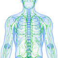Transparent lymphatic system isolated with white Stock Photography