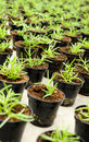 Transplanted seedlings in a nursery potted into flowerpots for retail as ornamental houseplants or for planting out the garden Stock Photography