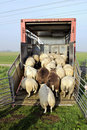 Transport de moutons Photo stock