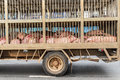 Transport of slaughter pigs by truck Stock Photography