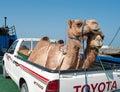 Transportation of camels by car in oman masirah island jan jan Stock Photo
