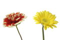 Transvaal daisy and dahlia in a white background pictured Royalty Free Stock Photos