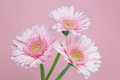 Transvaal daisy three pink isolated on a pink background Royalty Free Stock Photos