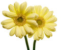 Transvaal daisy in a white background Royalty Free Stock Photography