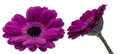 Transvaal daisy in a white background pictured purple Stock Images