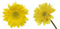 Transvaal daisy in a white background pictured yellow Stock Photography