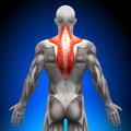 Trapezius - Anatomy Muscles Royalty Free Stock Photo