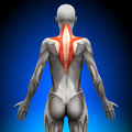 Trapezius - Female Anatomy Muscles Royalty Free Stock Photo