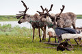 Trapped reindeers Royalty Free Stock Photo
