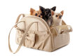 Travel bag and chihuahuas Royalty Free Stock Photography
