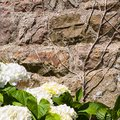 house wall and white hydrangea flowers Royalty Free Stock Photo