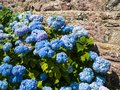 traditional hydrangea flowers near house wall Royalty Free Stock Photo