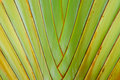 Traveler s tree or traveler s palm close up of Royalty Free Stock Images