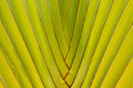 Travelers palm tree beautiful shape of leaves Royalty Free Stock Photo