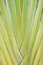 Traveller s palm close up of tree big banana stalk ravenala Stock Photo
