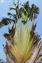 Traveller s tree the close up of tall scientific name ravenala madagascariensis Royalty Free Stock Images