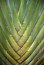 Traveller s tree or palm ravenala madagascariensis Stock Image