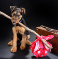 Travelling terrier Royalty Free Stock Image