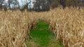 Trayectoria herbosa del pie a través de un campo de maíz Fotografía de archivo