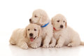 Tre cuccioli di un mese del golden retriever Immagine Stock