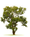Royalty Free Stock Images Tree
