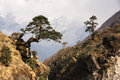 Tree above ravine grows outwards on the trail to everest base camp Royalty Free Stock Images