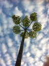Tree against altocumulus symmetrical and clouds Stock Photos