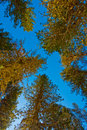 Tree against the deep blue sky in mountain Royalty Free Stock Images