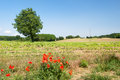 Tree in agricultural landscape summer Stock Photo