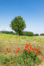 Tree in agricultural landscape summer Royalty Free Stock Photo