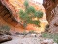 Tree in Arizona canyon Royalty Free Stock Photo
