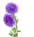 Tree aster lilac flowers isolated on white background Stock Image